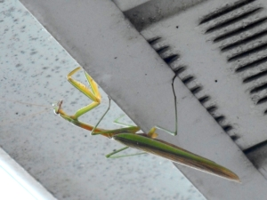the-preying-mantis